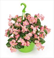 TOP balcony, garden and cut flower varieties:  Begonia x benariensis BIG Pink Green Leaf