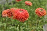TOP balcony, garden and cut flower varieties:  Ranunculus asiaticus Ponpon Minerva