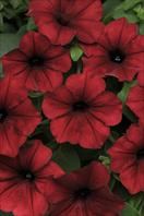 The top stars: Petunia x hybrida Tidal Wave Red Velour