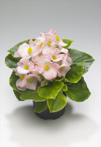 photo of flower to be used as: Bedding / border plant Begonia semperflorens Monza Appleblossom