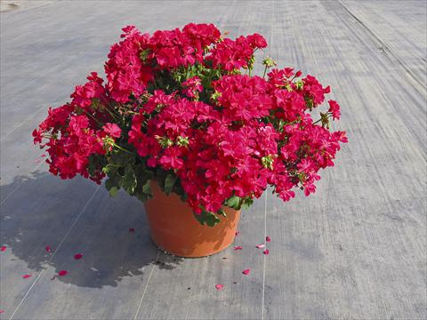 photo of flower to be used as: Pot Pelargonium interspec. Calliope Hot Rose 01