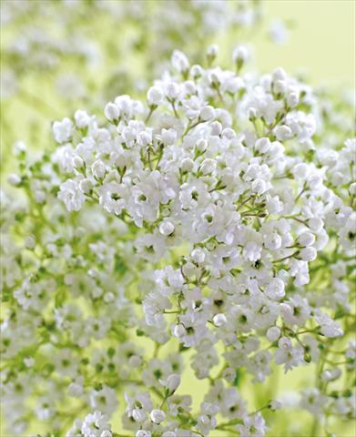 photo of flower to be used as: Bedding / border plant Gypsophila Pearls Petite