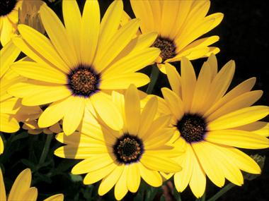 pot bedding patio osteospermum banana symphony. Black Bedroom Furniture Sets. Home Design Ideas