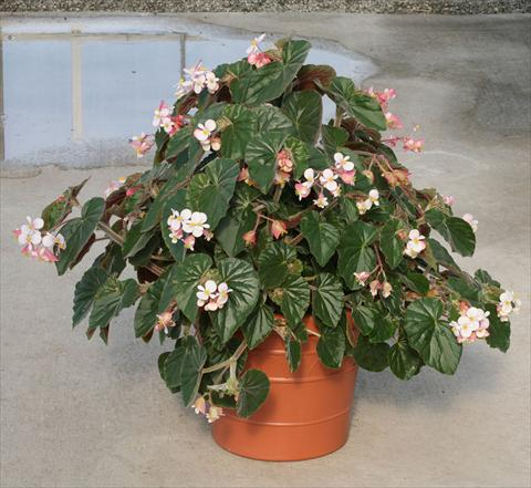 photo of flower to be used as: Pot, bedding, patio, basket Begonia hybrida Ikon