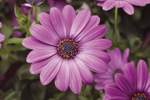 pot and bedding osteospermum tradewinds light purple. Black Bedroom Furniture Sets. Home Design Ideas