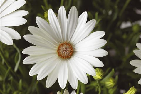 pot and bedding osteospermum tradewinds pearl white. Black Bedroom Furniture Sets. Home Design Ideas