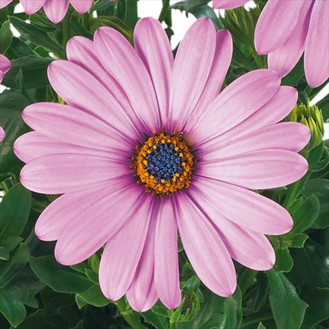 pot and bedding osteospermum margarita fides lilac. Black Bedroom Furniture Sets. Home Design Ideas