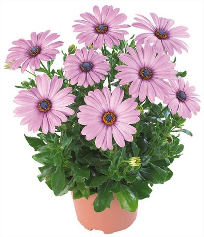 pot and bedding osteospermum margarita nano dark lilac. Black Bedroom Furniture Sets. Home Design Ideas
