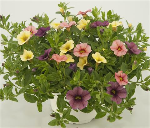 photo of flower to be used as: Pot, patio, basket 3 Combo Calibrachoa Checkies Peach Plum Goldberry