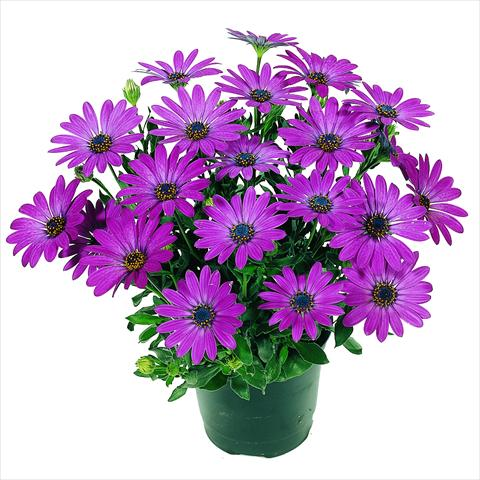 pot and bedding osteospermum red fox summertime deep purple impr. Black Bedroom Furniture Sets. Home Design Ideas