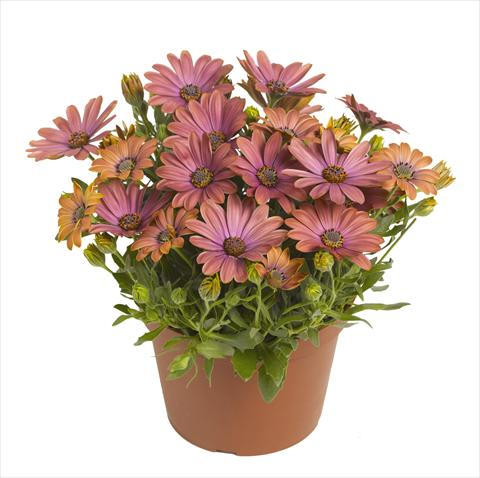 pot and bedding osteospermum red fox summertime cranberry. Black Bedroom Furniture Sets. Home Design Ideas