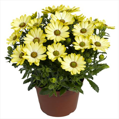 pot and bedding osteospermum red fox summertime yellow charme. Black Bedroom Furniture Sets. Home Design Ideas